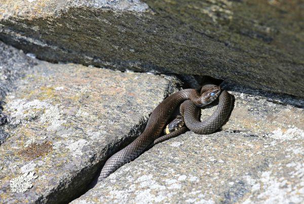 käärmeet suomessa